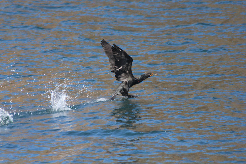June 26, 2012 (Channel Islands National Park [from Island Packers' boat] / Santa Cruz Island, Santa Barbara County, California) -- Double-crested Cormorant
