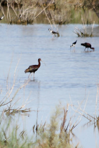 June 24, 2012 (Salton Sea [marsh by Davis Road] / Niland, Imperial County, California) -- White-faced Ibis with Black-necked Stilts