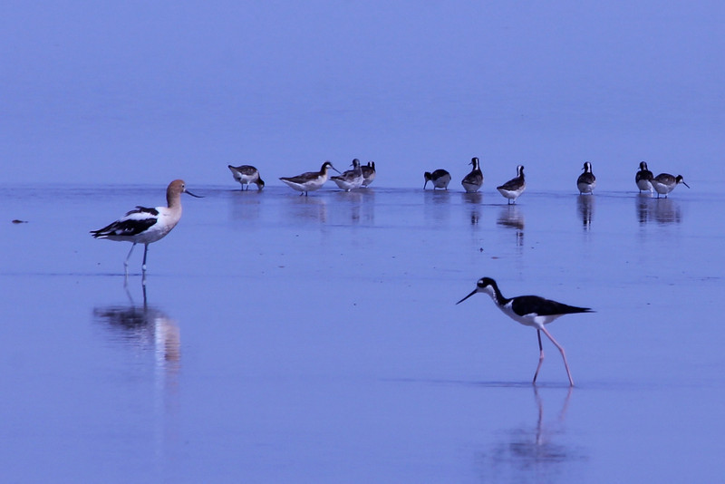 June 24, 2012 (Salton Sea [Morton Bay at the end to McDonald Road] / Niland, Imperial County, California) -- Wilson's Phalaropes behind American Avocet and Black-necked Stilt