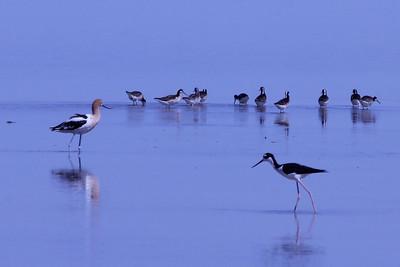 June 24, 2012 (Salton Sea [Morton Bay at the end to McDonald Road] / Niland, Imperial County, California) -- Wilson's Phalaropes behind American Avocet and Black-necked Stilt