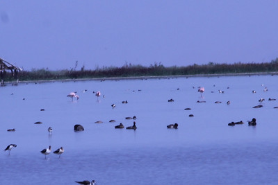 June 24, 2012 (Salton Sea [Morton Bay at the end to McDonald Road] / Niland, Imperial County, California) -- Lesser Flamingoes [escapees?]