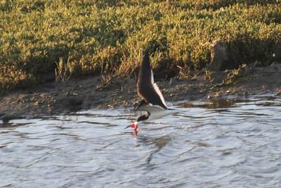 June 23, 2012 (Bolsa Chica Ecological Reserve / Huntington Beach, Orange County, California) -- Black Skimmer