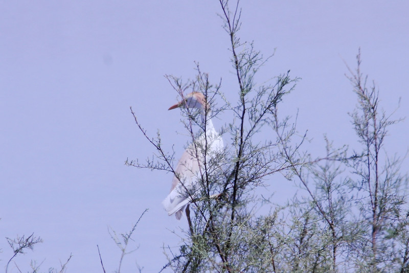June 24, 2012 (Salton Sea [beside West Schrimpf Road] / Niland, Imperial County, California) -- Cattle Egret