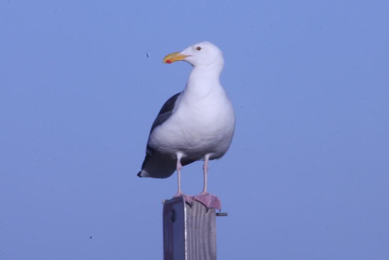June 22, 2012 (Point Vicente Fishing Access [aka Pelican Cove] / Rancho Palos Verdes, Los Angeles County, California) -- Western Gull