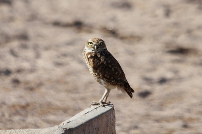June 24, 2012 (Salton Sea [side of Davis Road] / Niland, Imperial County, California) -- Burrowing Owl