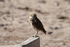 June 24, 2012 (Salton Sea [side of Davis Road] / Niland, Imperial County, California) -- Burrowing Owl