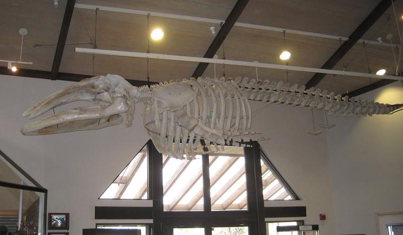 June 22, 2012 (Point Vicente Interpretive Center / Rancho Palos Verdes, Los Angeles County, California) -- Whale Skeleton