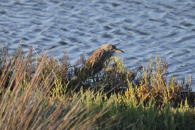 June 23, 2012 (Bolsa Chica Ecological Reserve / Huntington Beach, Orange County, California) -- Juvenile Black-crowned Night Heron