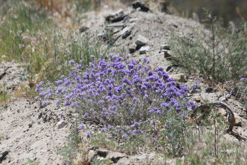 June 27, 2012 (Frazier Park Mountain Road [at side of road] / Frazier Park, Kern County, California) -- Wild flowers