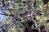 June 27, 2012 (Valle Vista Campground [in brush near picnic table] / Los Padres National Forest, Ventura County, California) -- Wrentit