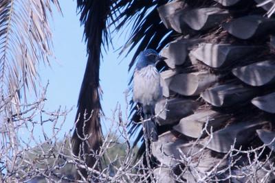 June 22, 2012 (Point Vicente Interpretive Center / Rancho Palos Verdes, Los Angeles County, California) -- Western Scrub Jay