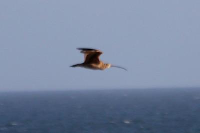 June 23, 2012 (Bolsa Chica Ecological Reserve / Huntington Beach, Orange County, California) -- Long-billed Curlew
