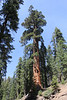June 28, 2012 (Generals Highway / Sequoia National Park, Tulare County, California) -- Giant Sequoia tree
