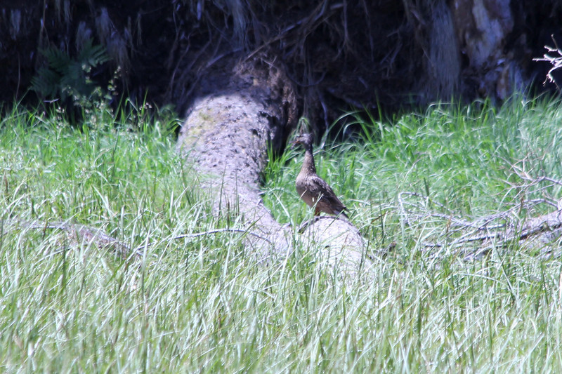 June 28, 2012 (Crescent Meadow / Sequoia National Park, Tulare County, California) -- Female Mallard on a log at the edge of the meadow