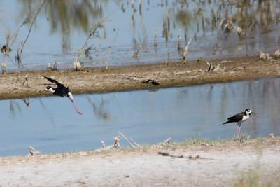 June 24, 2012 (Salton Sea [marsh by Davis Road] / Niland, Imperial County, California) -- noisy Black-necked Stilts