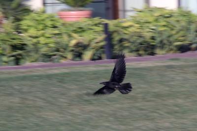 June 22, 2012 (Point Vicente Fishing Access [aka Pelican Cove] / Rancho Palos Verdes, Los Angeles County, California) -- Common Ravens