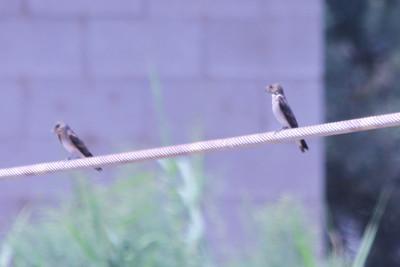 June 24, 2012 (Salton Sea [near Garst Road] / Niland, Imperial County, California) -- Northern Rough-winged Swallows