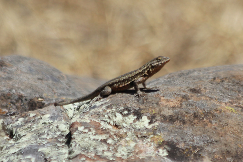June 26, 2012 (Channel Islands National Park / Santa Cruz Island, Santa Barbara County, California) -- Fence Lizard
