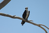 June 24, 2012 (Salton Sea [above Bowles Road] / Calipatria, Imperial County, California) -- Osprey