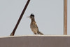 June 24, 2012 (Salton Sea [off intersection of Boyle & Young Roads] / Calipatria, Imperial County, California) -- same Greater Roadrunner atop building