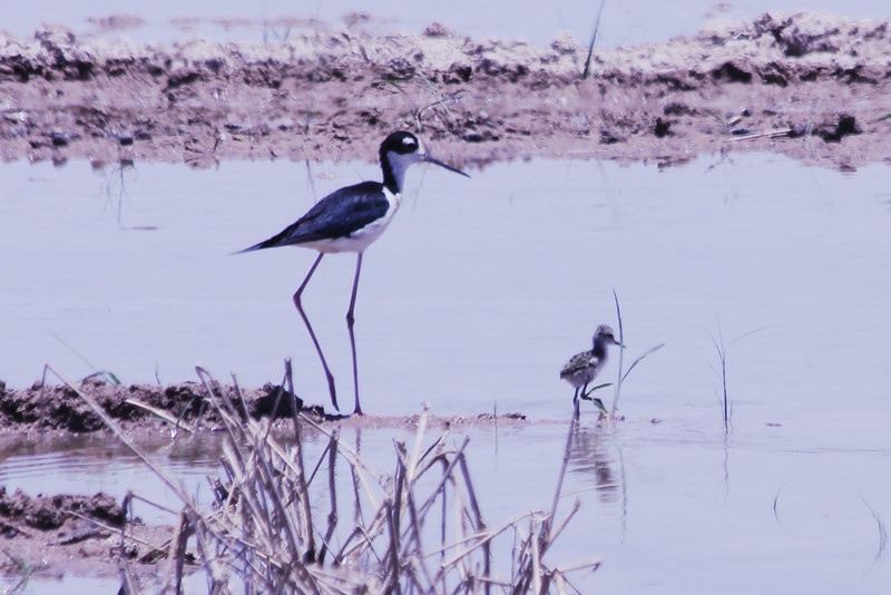 June 24, 2012 (Salton Sea [blinds off Boyle Road] / Calipatria, Imperial County, California) -- Black-necked Stilt with chick