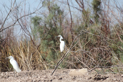 June 24, 2012 (Salton Sea [side of Ruddy Road] / Niland, Imperial County, California) -- Snowy Egrets
