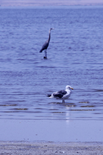 June 24, 2012 (Salton Sea [Red Hill] / Niland, Imperial County, California) -- Yellow-footed Gull in front of Great Blue Heron