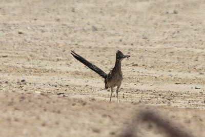 June 24, 2012 (Salton Sea [off intersection of Boyle & Young Roads] / Calipatria, Imperial County, California) -- Greater Roadrunner with dinner