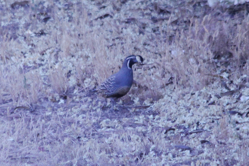 June 28, 2012 (Cherokee Oaks Drive neighborhood [across Sierra Drive] / Three Rivers, Tulare County, California) -- California Quail