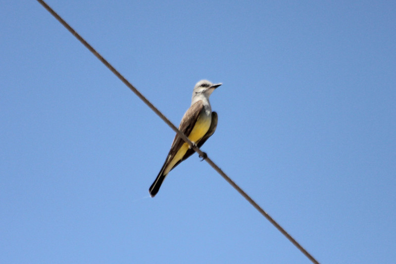 June 24, 2012 (Salton Sea [above Bowles Road] / Calipatria, Imperial County, California) -- Western Kingbird