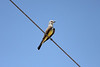 June 24, 2012 (Salton Sea [above Bowles Road] / Calipatria, Imperial County, California) -- Western Kingbird