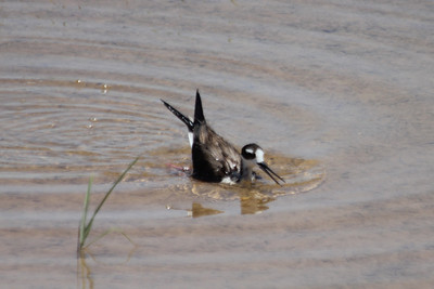 """June 24, 2012 (Salton Sea [blinds off Boyle Road] / Calipatria, Imperial County, California) -- Black-necked Stilt distracting with version of """"broken wing"""""""