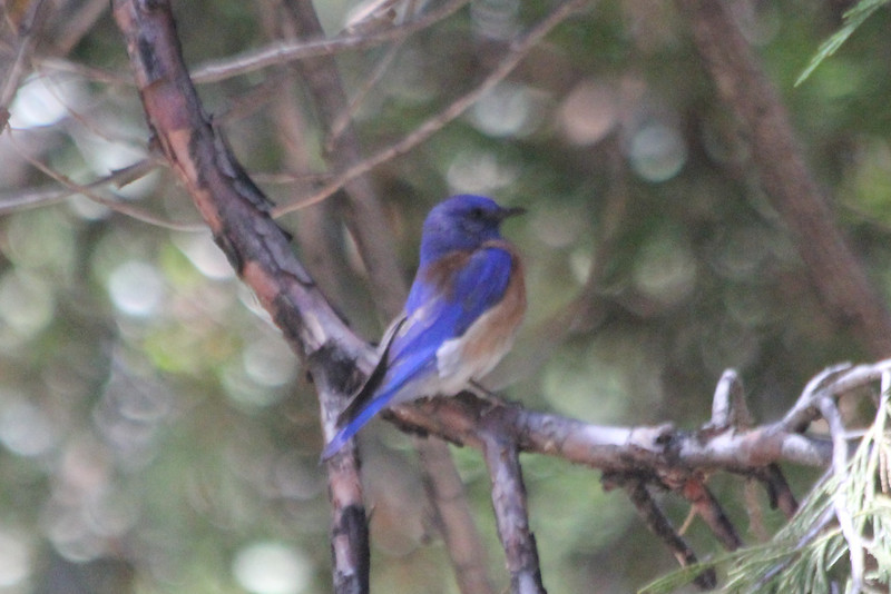June 25, 2012 (Forest Falls [Picnic area] / Forest Falls, San Bernardino County, California) -- Western Bluebird