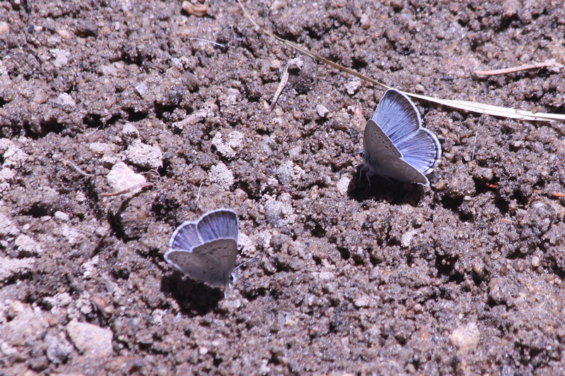 June 29, 2012 (Big Meadow Trail / Sequoia National Forest, Fresno County, California) -- Boisduval's Blue Butterfly [Plebejus icarioides]