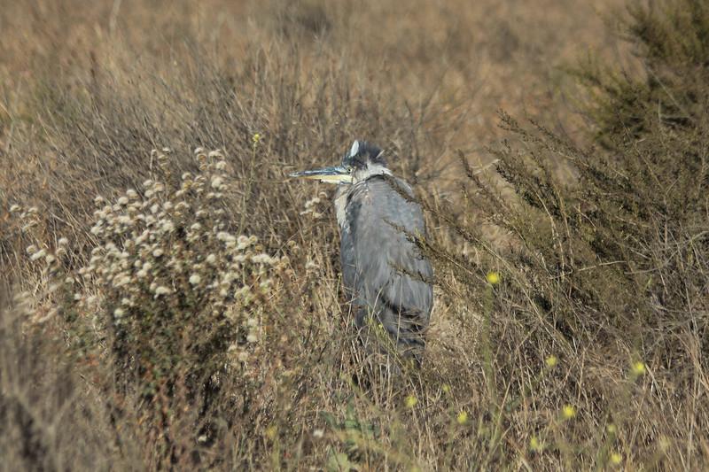 June 23, 2012 (Bolsa Chica Ecological Reserve / Huntington Beach, Orange County, California) -- Great Blue Heron