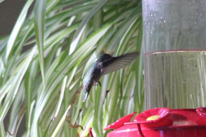 June 29, 2012 (Cherokee Oaks Drive neighborhood [neighbor's feeders] / Three Rivers, Tulare County, California) -- Anna's Hummingbird