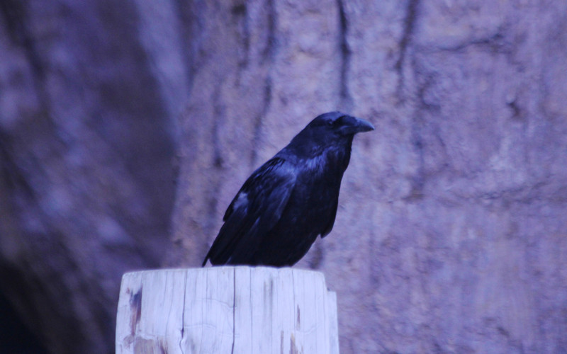 June 28, 2012 (Grant Grove [parking lot] / Kings Canyon National Park, Fresno County, California) -- Common Raven