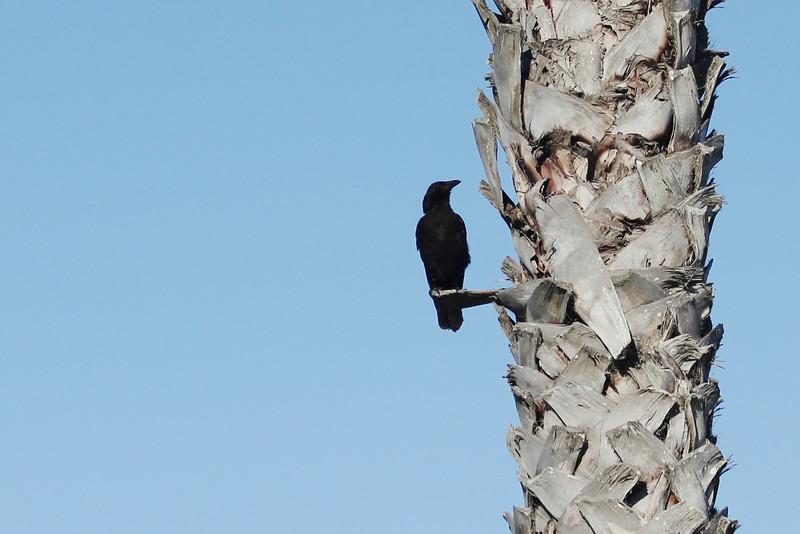 June 26, 2012 (Ventura Marina [Marina walkway] / Ventura, Ventura County, California) -- Common Raven