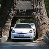 """Nancy took this photo of me driving through the tree. The opening was cut by hand and is 6' wide by 6'6"""" tall. This tree is 315 feet tall. The tallest in the world is 370'"""