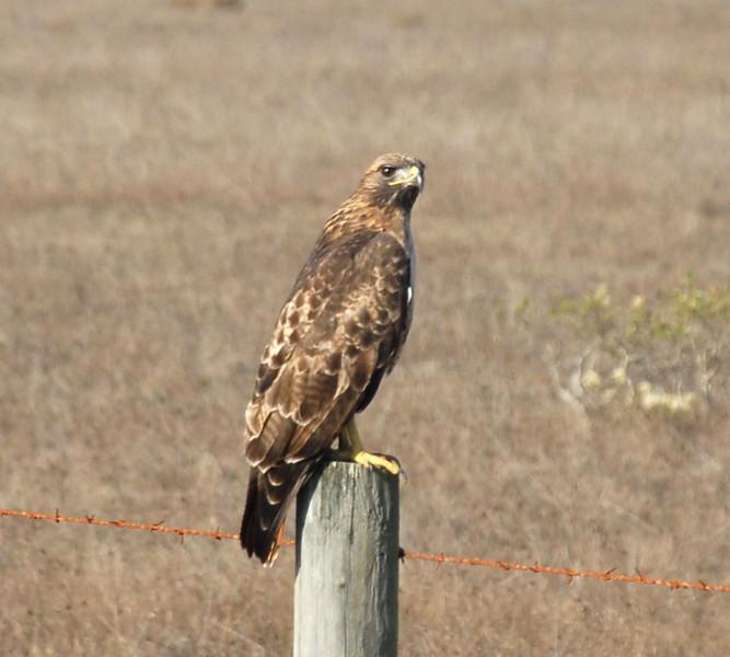 Cambria Hawk