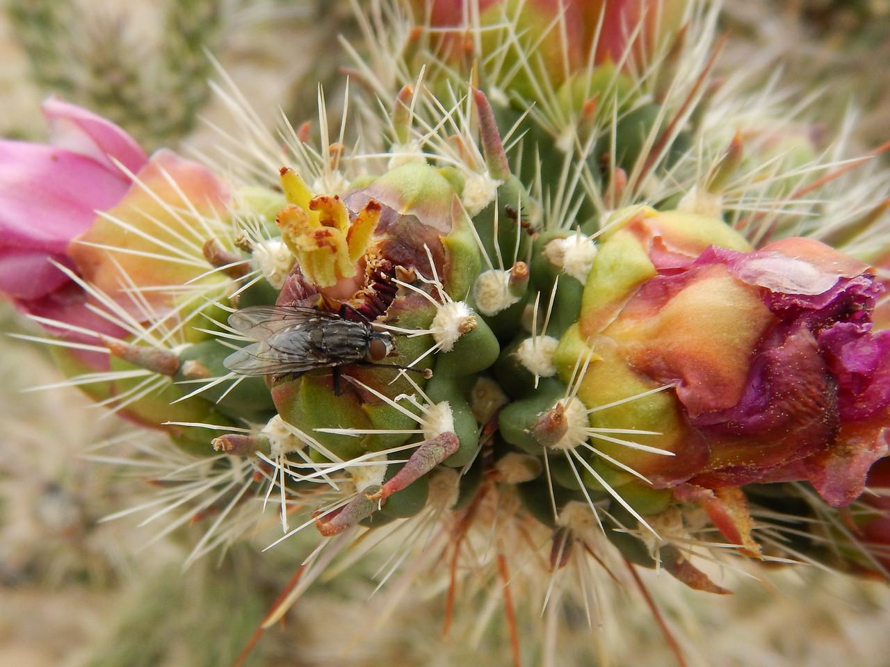 Fly On Cacti Flower