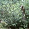 Huckleberries (wild blueberries)