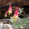 Wild columbine growing on the rocks in Standing Stone State Forest