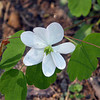 Rue anemone on the banks of Spring Creek.