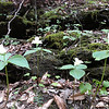 Cluster of Large White trilliums