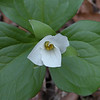 Just opening Trillium grandiflora<br /> Spring Creek TN