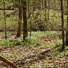 Oodles of bluebells along Bryan Fork