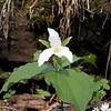 T. grandiflora Spring Creek