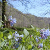 Virginia Bluebells at Poplar Springs with the mountains in the background.