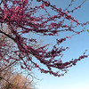 Redbud blooms on the way to search for Mill Creek Falls